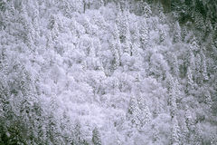 Snow covered evergreen trees. Evergreen trees in the Smoky Mountains covered with snow and rime ice Stock Photo
