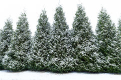 Snow covered evergreen trees Royalty Free Stock Photography