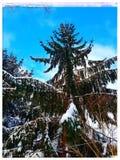 Snow covered evergreen. Winter tree stock photo