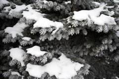 Snow-covered evergreens Royalty Free Stock Images