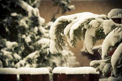 Snow covered evergreens Stock Images