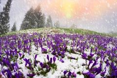 Snow-covered field of crocuses stock photos