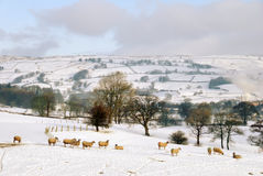 Snow Covered Field and Hills with Sheep Royalty Free Stock Photos