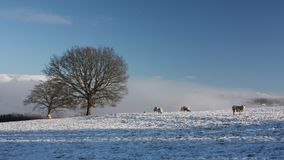 Snow Covered Field with Sheep Stock Photos