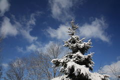Snow-covered fir Stock Photography
