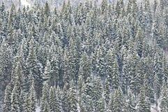 Snow covered fir Stock Photos
