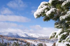 Snow covered fir branch. Branch of fir covered by snow whit mountain forest view Royalty Free Stock Photo