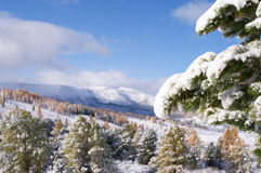 Snow covered fir branch Royalty Free Stock Image