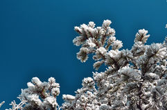 Snow covered fir branch against blue sky Royalty Free Stock Photo