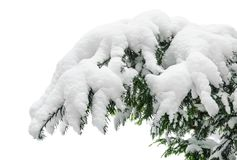 Snow covered fir branch Stock Image