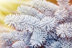 Snow-covered fir branch , illuminated by the sun Royalty Free Stock Photography