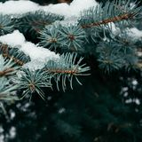 Snow-covered fir branch. Natural background. Spruce. S in winter Royalty Free Stock Image