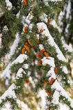Snow-covered fir branch on the street in Pomorie, Bulgaria winter 2017 Stock Images