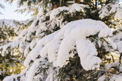 Snow covered fir branch. Snow covered tree branches. Blue sky, mist, mountains in the background blurred. Winter frosty sunny morning or a day in the mountains Stock Photos