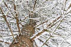 Snow covered fir branch and trunk Royalty Free Stock Photos