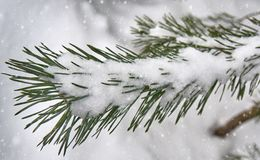 Snow-covered fir branch under a snap. Fir branch in the snow and falling snow Royalty Free Stock Photo