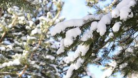 Snow-covered fir branches against  blue sky. Snow-covered fir branches against the blue sky stock video