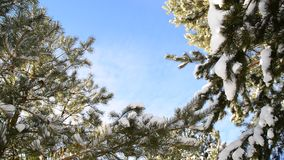 Snow-covered fir branches against  blue sky stock footage