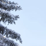 Snow-covered fir branches against blue sky Stock Image
