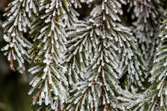 Snow-covered fir branches Royalty Free Stock Photography