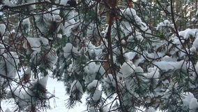 Snow-covered fir branches in a forest. stock footage