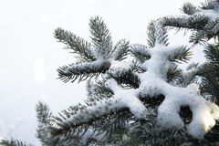 Snow covered fir branches Stock Photography