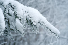 Snow-covered fir branches Stock Image