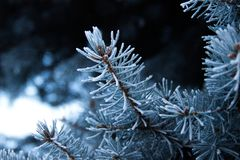 Snow-covered fir branches. Winter decoration of trees. Stock Photography