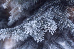 Snow-covered fir Christmas tree branch Royalty Free Stock Image