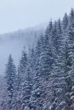 Snow-covered fir forest Stock Images