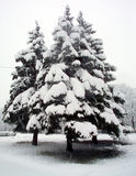 Snow-covered fir tree. S in winter forest, near fallen tree Royalty Free Stock Images