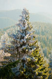 Snow covered fir tree Stock Images