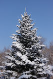 Snow-covered fir tree Stock Photo