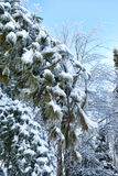 Snow covered fir tree boughs Stock Photos