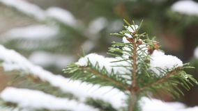 A snow-covered fir tree branch, icy snow falls in the forest. Winter weather. First snow stock video