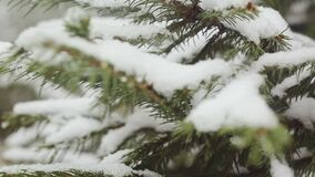 A snow-covered fir tree branch, icy snow falls in the forest. Winter weather. First snow stock video footage