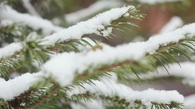 A snow-covered fir tree branch, icy snow falls in the forest. Winter weather. First snow stock footage