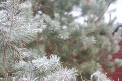 snow-covered fir tree branches Stock Photography