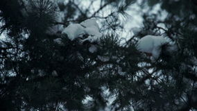 Snow-covered fir tree branches. Close up stock video footage