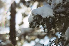 Snow covered fir tree branches Royalty Free Stock Photo