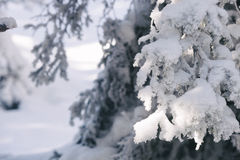 Snow covered fir tree branches Stock Photo