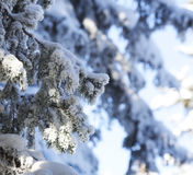 Snow covered fir tree branches Stock Images