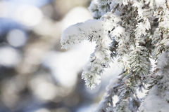 Snow covered fir tree branches Stock Image