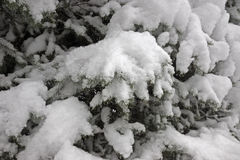 Snow covered fir tree Royalty Free Stock Photo