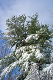 Snow covered fir tree. Snow laden branches of a fir tree after an early season snowstorm in Bangor, Maine Stock Photo