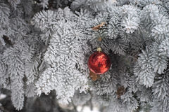 Snow covered fir tree with toy ball. Red and golden Christmas ball in real frozen spruce tree Stock Photography