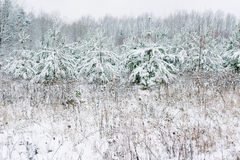 Snow-covered fir tree in winter,  and fields,   Christmas atmosphere Stock Photography