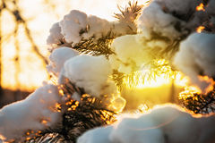Snow-covered fir tree in winter forest at sunset Royalty Free Stock Image
