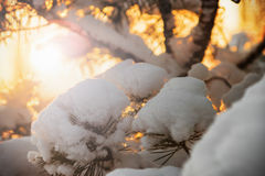 Snow-covered fir tree in winter forest at sunset Stock Images