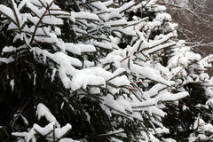 Snow-covered fir-tree in the wood Stock Image